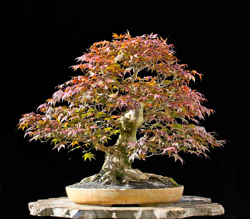 Bonsai Photo of the Day 5-10-2018