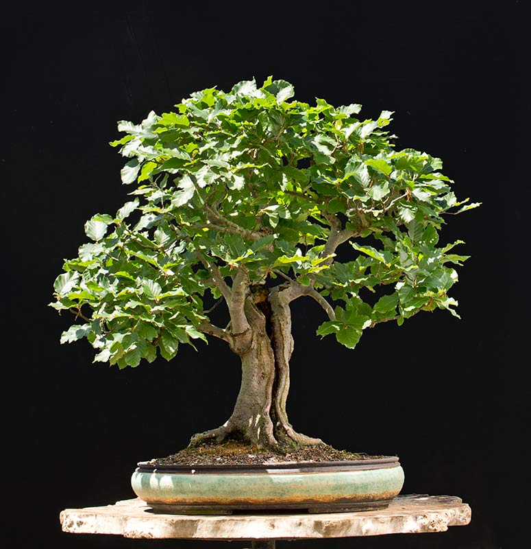 Bonsai Photo of the Day 5-2-2018