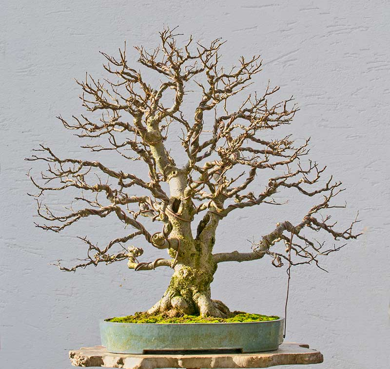 Bonsai Photo of the Day 6-12-2018