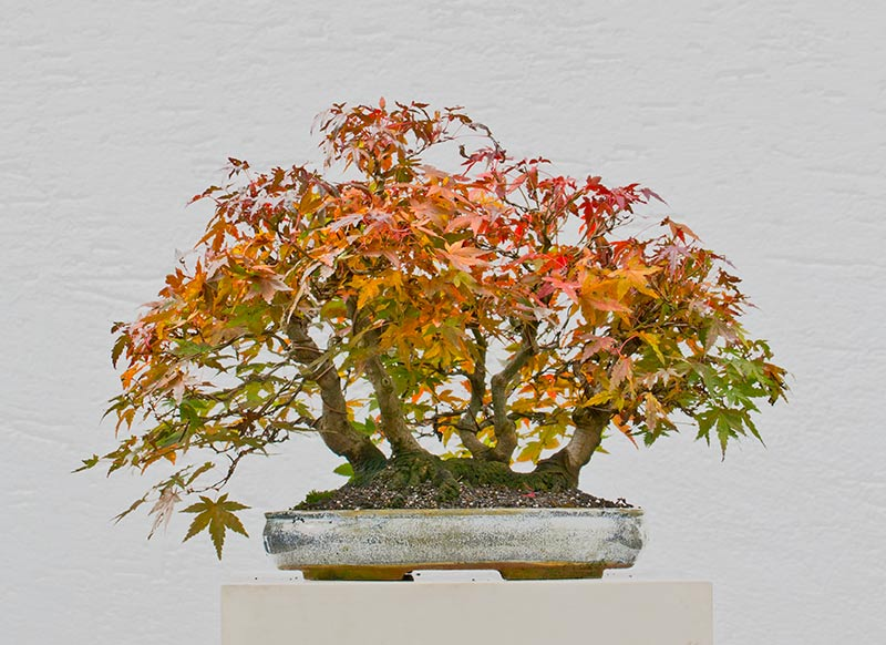 Bonsai Photo of the Day 6-13-2018
