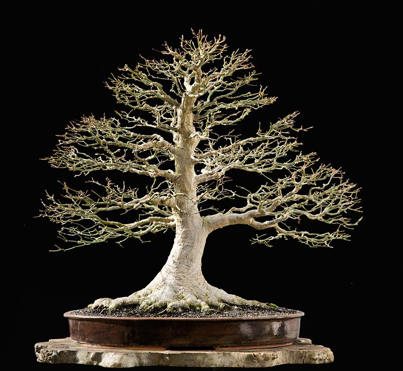Bonsai Photo of the Day 6-27-2018
