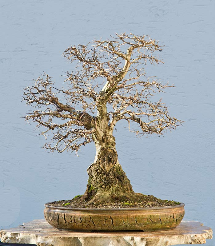 Bonsai Photo of the Day 6-28-2018