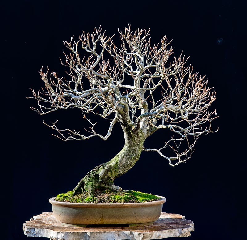 Bonsai Photo of the Day 6-5-2018