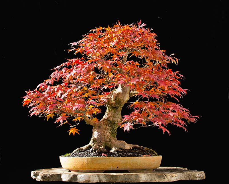 Bonsai Photo of the Day 6-15-2018