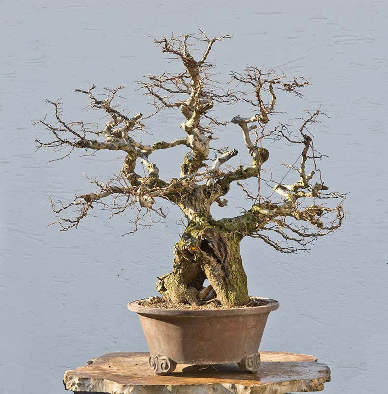 Bonsai Photo of the Day 7-11-2018