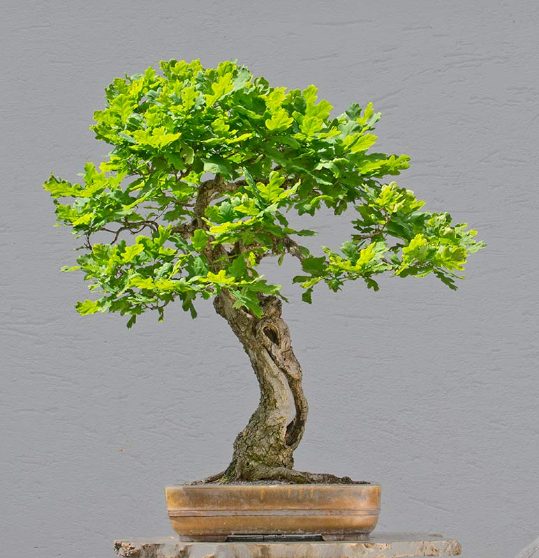 Bonsai Photo of the Day 7-13-2018