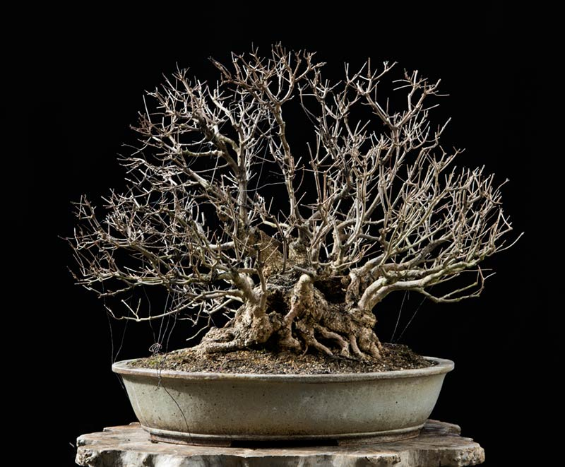 Bonsai Photo of the Day 7-16-2018