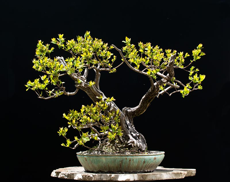 Bonsai Photo of the Day 7-20-2018