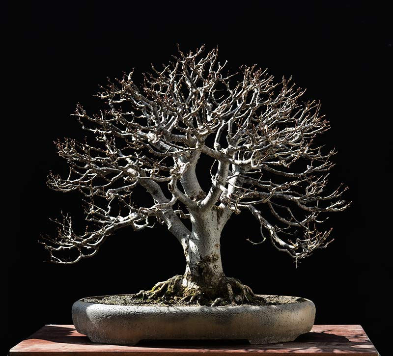 Bonsai Photo of the Day 7-23-2018