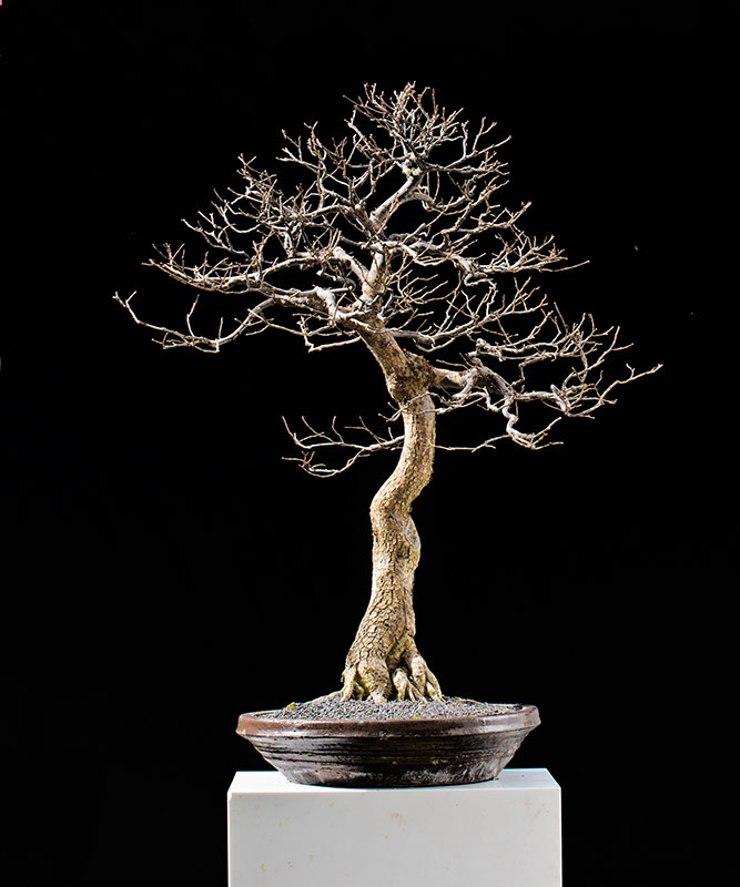 Bonsai Photo of the Day 7-24-2018