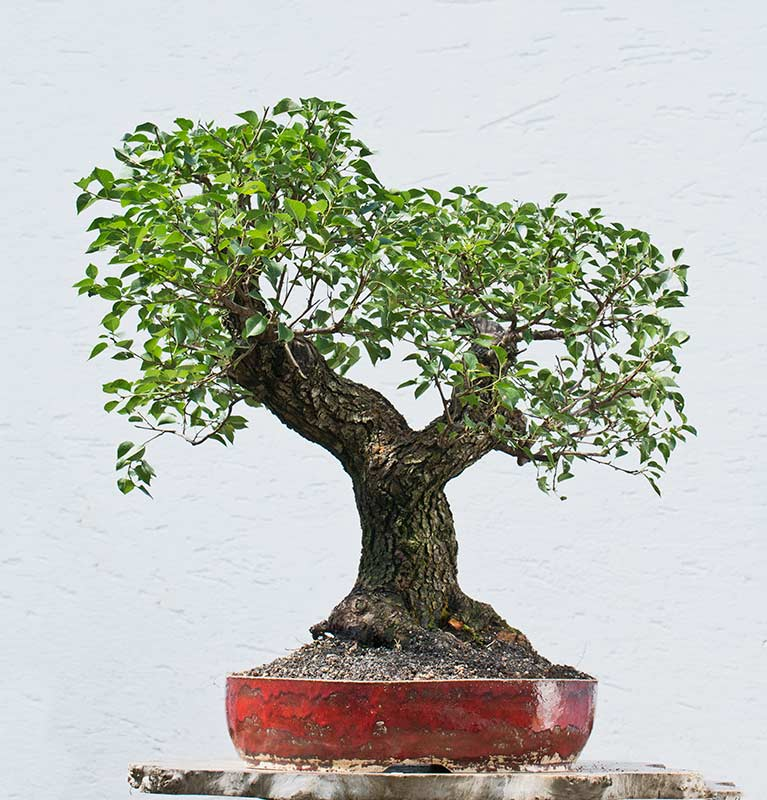 Bonsai Photo of the Day 7-25-2018