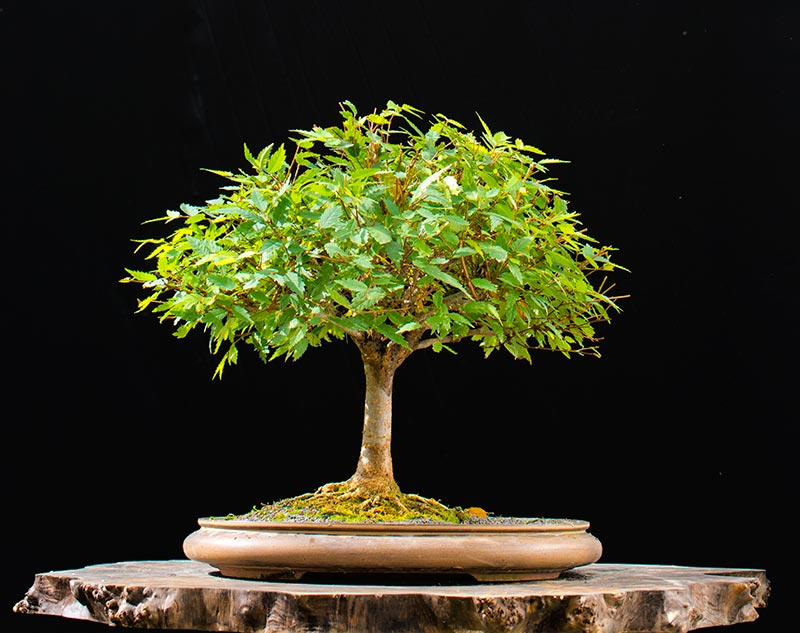 Bonsai Photo of the Day 7-26-2018