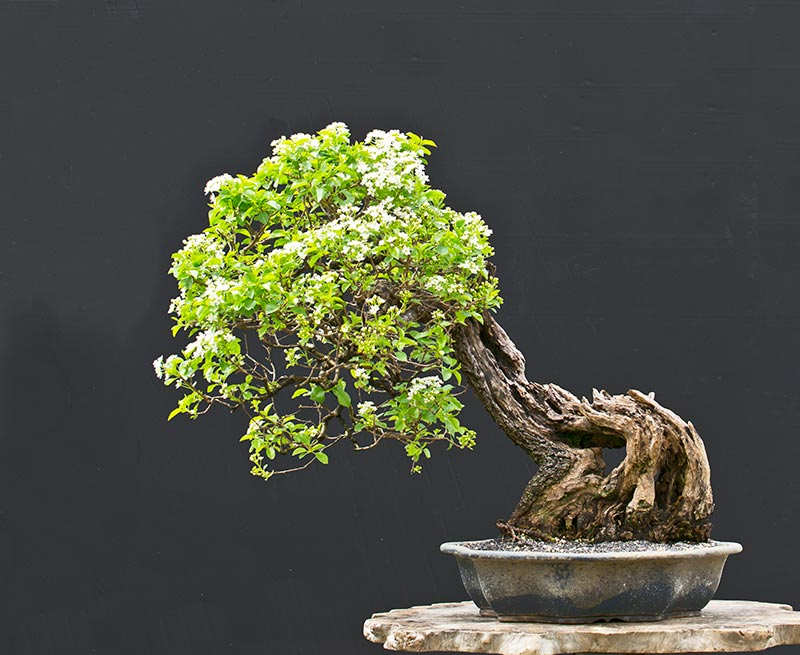 Bonsai Photo of the Day 7-27-2018