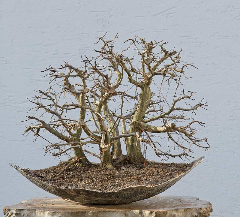 Bonsai Photo of the Day 7-3-2018