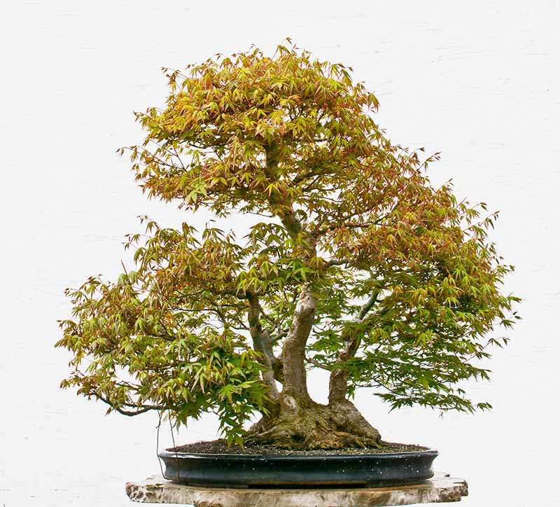 Bonsai Photo of the Day 7-30-2018