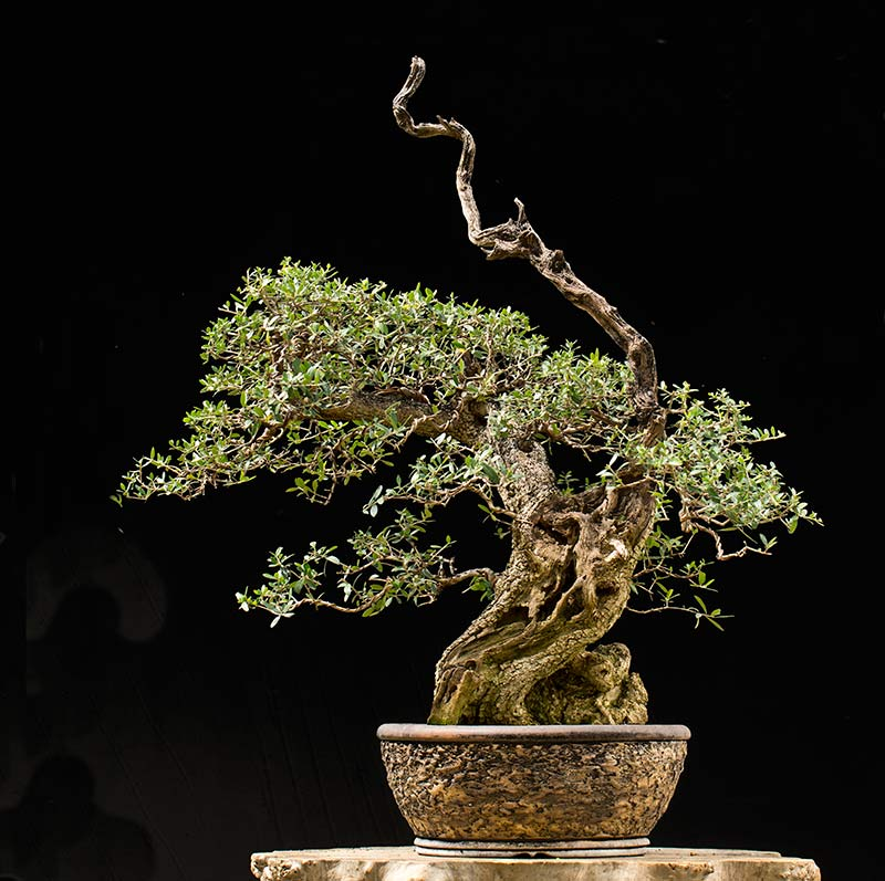 Bonsai Photo of the Day 7-31-2018