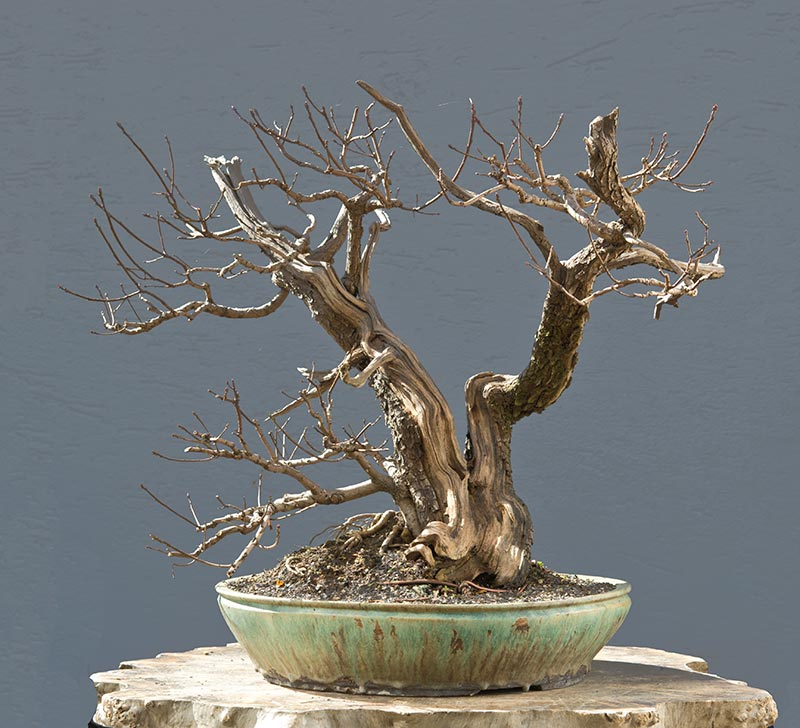 Bonsai Photo of the Day 8-10-2018