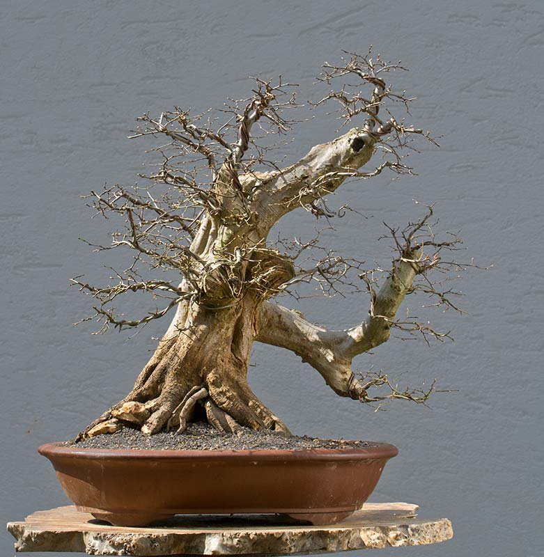 Bonsai Photo of the Day 8-13-2018