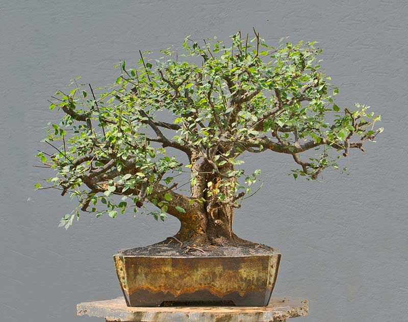 Bonsai Photo of the Day 8-14-2018