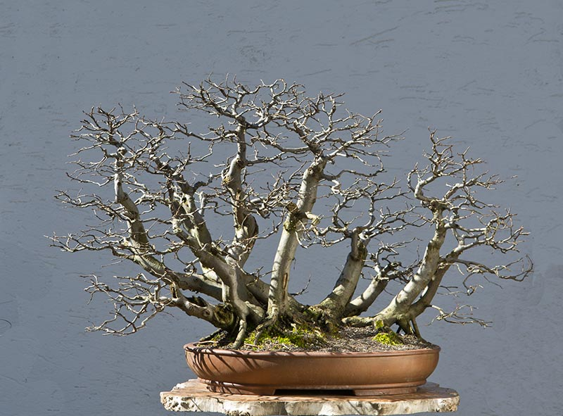 Bonsai Photo of the Day 8-15-2018