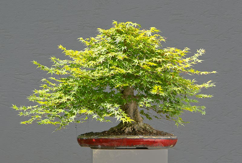 Bonsai Photo of the Day 8-17-2018