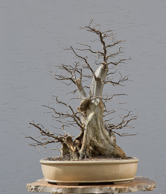 Bonsai Photo of the Day 8-20-2018