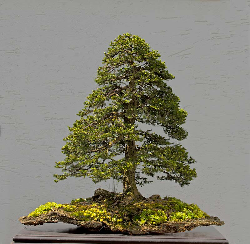 Bonsai Photo of the Day 8-28-2018