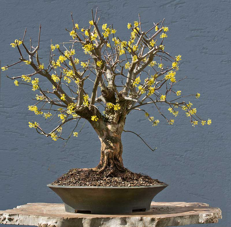 Bonsai Photo of the Day 8-3-2018