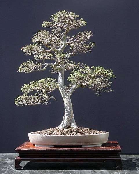 Bonsai Photo of the Day 8-30-2018