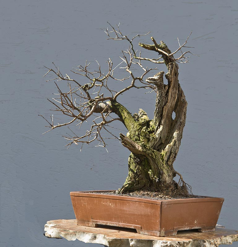 Bonsai Photo of the Day 8-6-2018