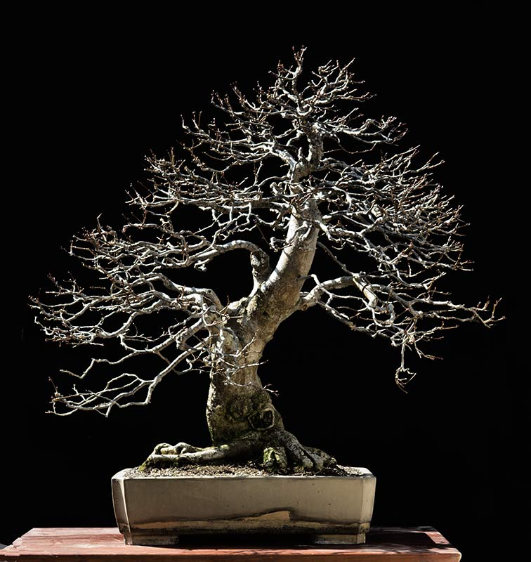 Bonsai Photo of the Day 8-7-2018