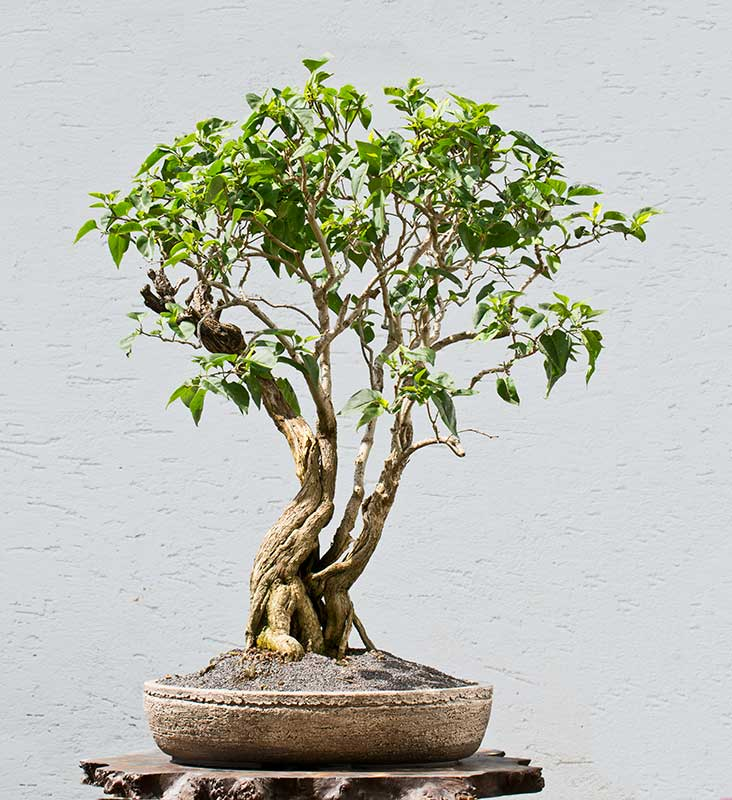 Bonsai Photo of the Day 8-9-2018