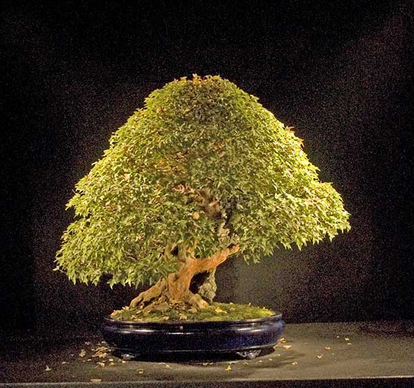 Bonsai Photo of the Day 9-10-2018