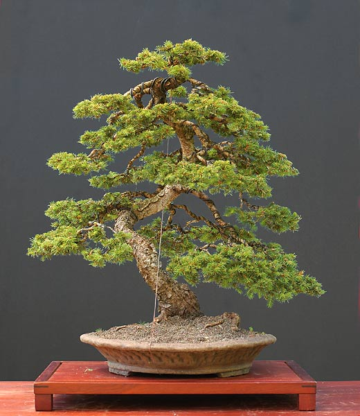 Bonsai Photo of the Day 9-11-2018