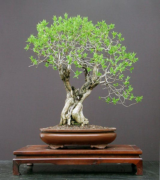 Bonsai Photo of the Day 9-13-2018