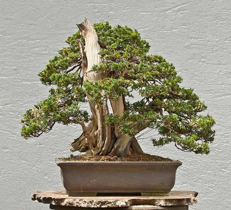 Bonsai Photo of the Day 9-20-2018