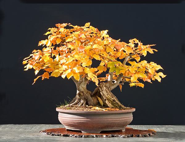 Bonsai Photo of the Day 9-21-2018
