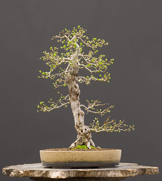 Bonsai Photo of the Day 9-24-2018