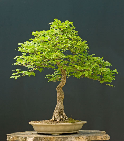 Bonsai Photo of the Day 9-25-2018
