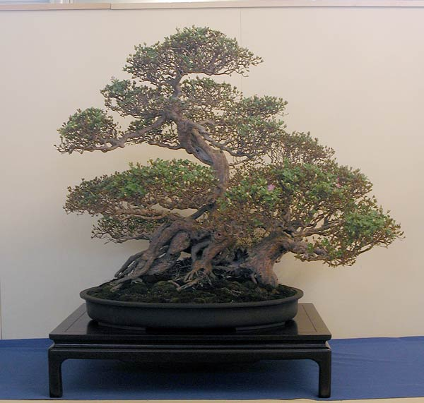 Bonsai Photo of the Day 9-26-2018