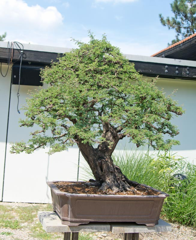 Bonsai Photo of the Day 9-3-2018