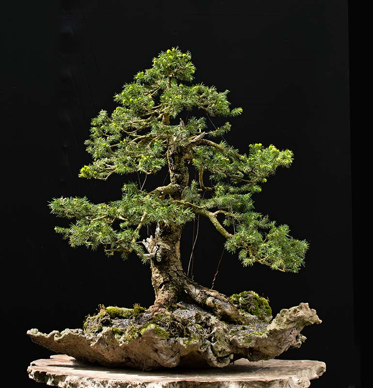 Bonsai Photo of the Day 9-5-2018
