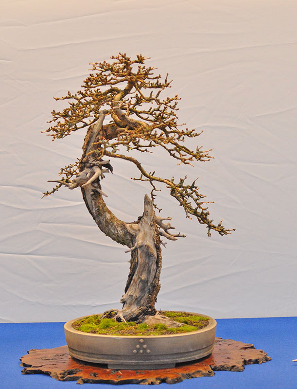 Bonsai Photo of the Day 9-6-2018