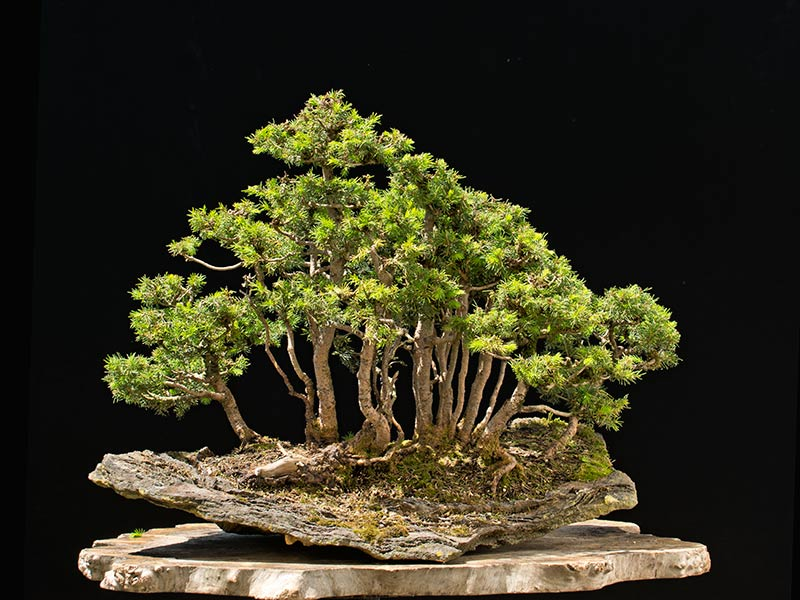 Bonsai Photo of the Day 9-7-2018