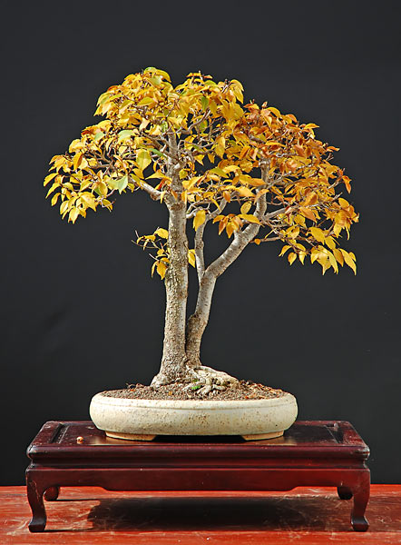 Bonsai Photo of the Day 10-12-2018