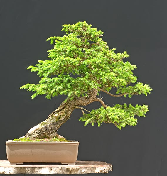 Bonsai Photo of the Day 10-15-2018