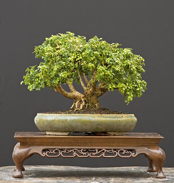 Bonsai Photo of the Day 10-18-2018