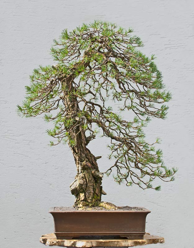 Bonsai Photo of the Day 10-24-2018