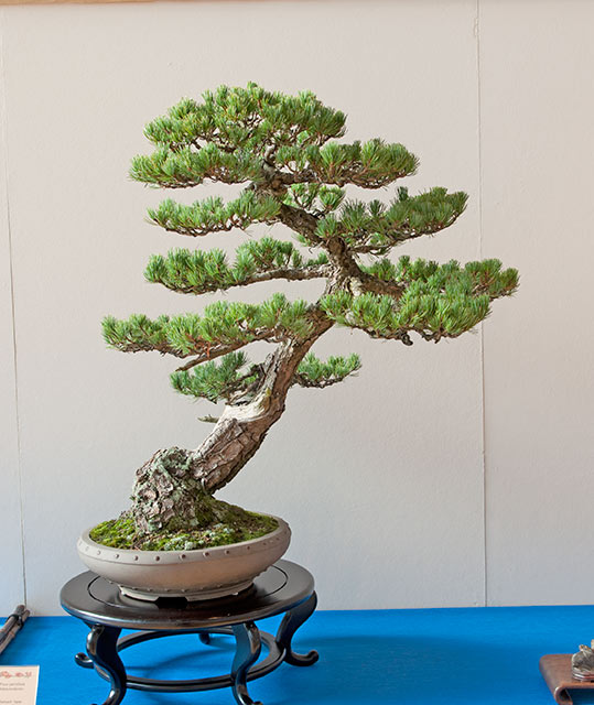 Bonsai Photo of the Day 10-29-2018