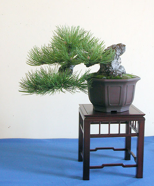 Bonsai Photo of the Day 10-3-2018